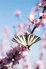 Butterfly on Fruit Tree Flower