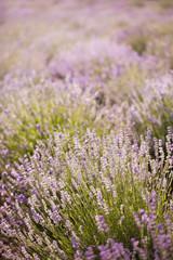 lavender - lavender flowers in the setting sun