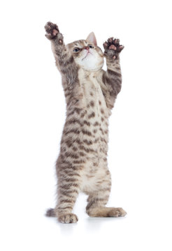 funny kitten cat standing with raised paws isolated on white