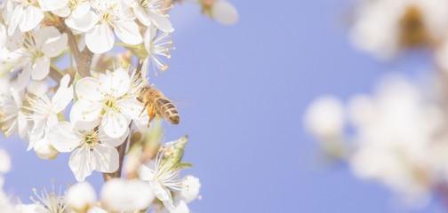 Biene beim Nektar sammeln im Frühling
