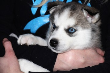 Puppy. A beautiful Siberian Husky puppy. Lovely, playful puppy, blue-eyed handsome!
