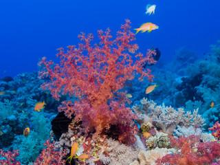 Weichkoralle im Roten Meer