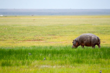 Isolated hippopotamus grazing in the savannah swamps of Amboseli Park in Kenya
