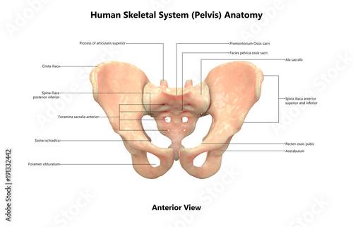 Human Skeleton System Pelvis Anatomy Anterior View Stock Photo