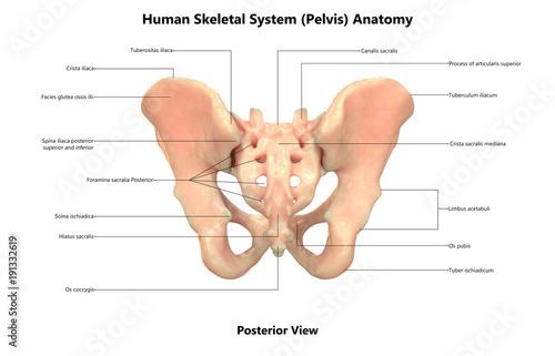 Human skeleton system pelvis anatomy posterior view stock photo human skeleton system pelvis anatomy posterior view ccuart Image collections