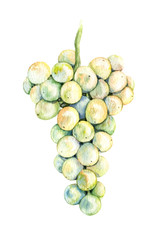 Watercolor Bunch  of light  Grapes