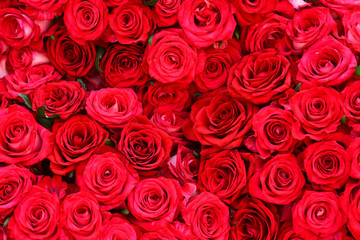 Pink red rose flower background