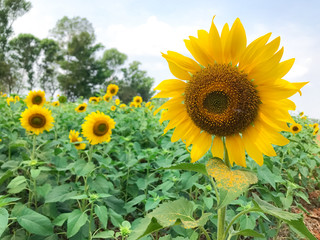 Bright yellow sunflowers blooming in sunflower field in sunny summer day
