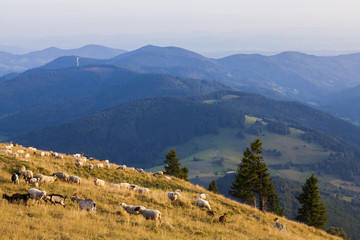 Germany, Baden-Wurttemberg, Black Forest, sheep and goats grazing on Belchen mountain