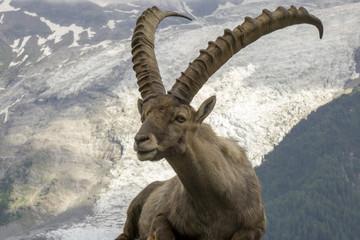 Beautiful Alpine Ibex (Capra Ibex) on the background of the Mont Blanc Massif. The Alps.