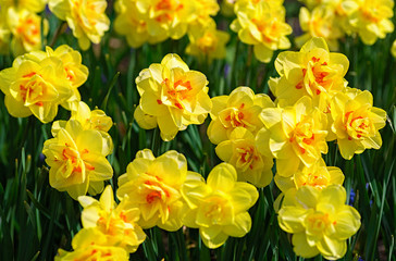 Beautiful double flowerig daffodils in the home garden