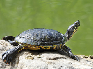 Common Cooter Turtle Sunning Himself on the River Bank