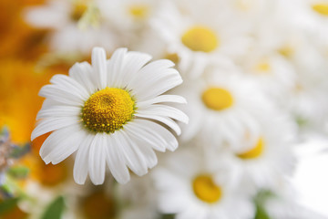 Beautiful daisies closeup. Flower background.