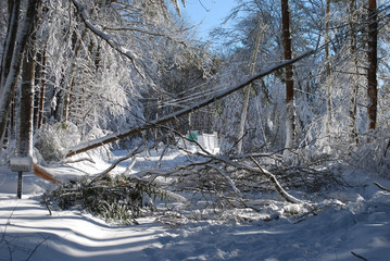 Huge trees that fell during a winter blizzard