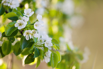 Blossom fruit tree branches on blurred background with sun