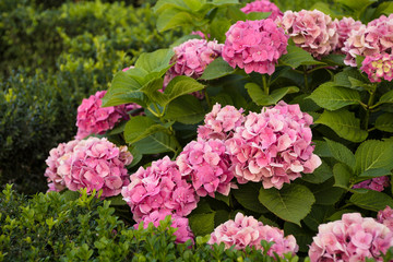 inflorescences of pink hydrangea on the flowerbed in the park
