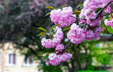 pink flowers on sakura branches