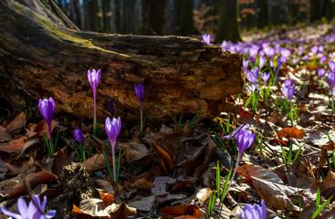 purple saffron flowers under the stump in forest