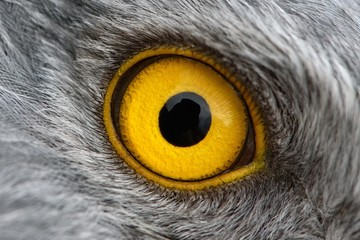 eagle eye close-up, macro photo, eye of the male Northern Harrier