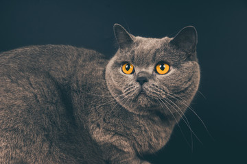 Beautiful young British gray short-haired cat close-up