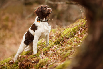 hunting dog epagneul breton on a walk in a beautiful forest Wall mural