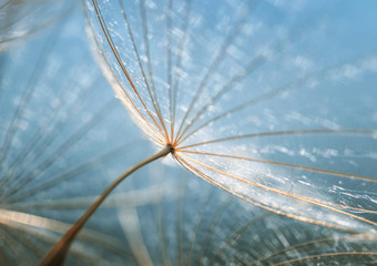 gentle natural backdrop of the fluffy seeds of the dandelion flower close-up
