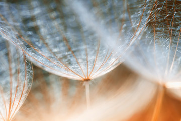 Photo sur Plexiglas Pissenlit delicate fluffy dandelion flower seeds reach out to the blue sky on a Sunny day