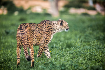 Beautiful Wild Cheetah walking careful on green fields, Close up