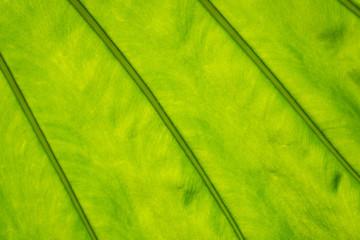 Backlit spring leaf