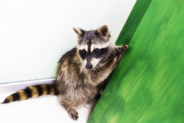 funny and playful raccoon at the zoo