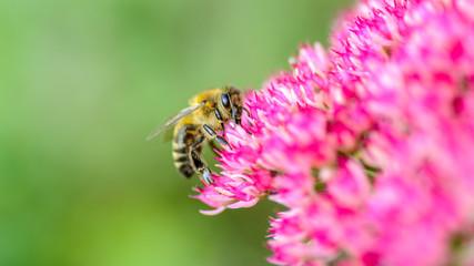 Biene auf pinkfarbener Blüte