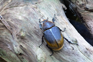 A female Hercules beetle rests on a log in its environment.