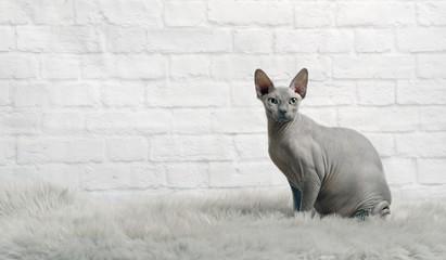 Sphinx Katze sitzt auf  einem Fell und schaut in die Kamera.