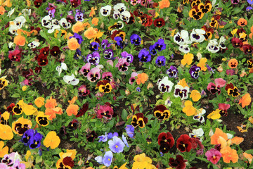 Poster Pansies Multicolored pansies
