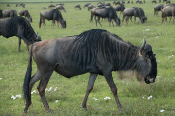 The Wildebeests in the Migration in Ndutu Plains in Ngorongoro
