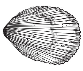Hand drawing seashell-6