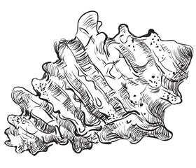 Hand drawing seashell-7