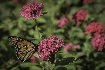 pink cluster flower bush with monarch butterfly side view