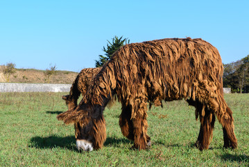 Poitou donkey at Ré Island, France
