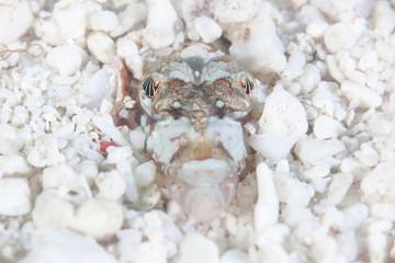 Camouflaged Sand Diver in Sandy Seafloor