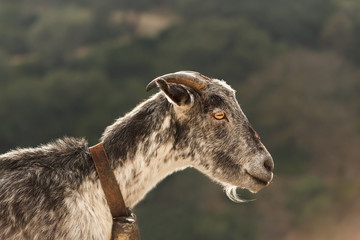 Mountain Goat in Andalusia Spain