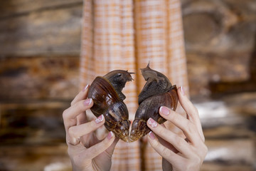Large snails ahatina  of heart-shaped for Valentine's Day
