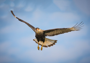 Black crested caracara in flight over the Pantanal, Brazil Wall mural
