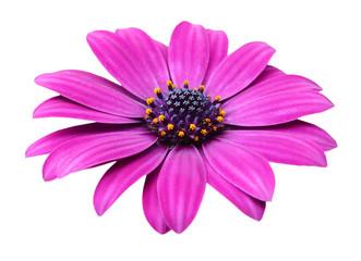 Violet Pink Osteosperumum Flower Daisy Isolated on White Background