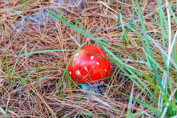 Close up of bright red Fly Agaric mushroom