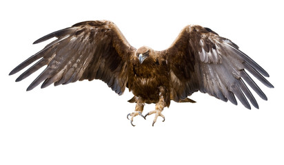 Poster Eagle golden eagle, isolated
