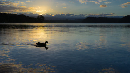 Silhouette of a lonely duck swimming on a calm lake during sunset