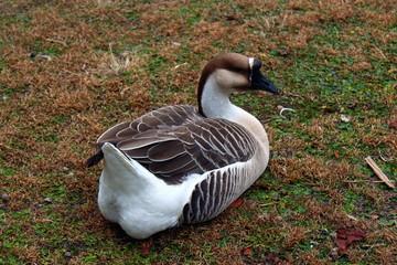 Relaxing Goose