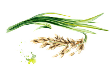 Rice plant. Watercolor hand drawn illustration, isolated on white background