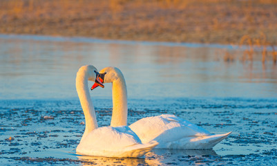 Swans swimming in a lake in a frozen lake at sunrise